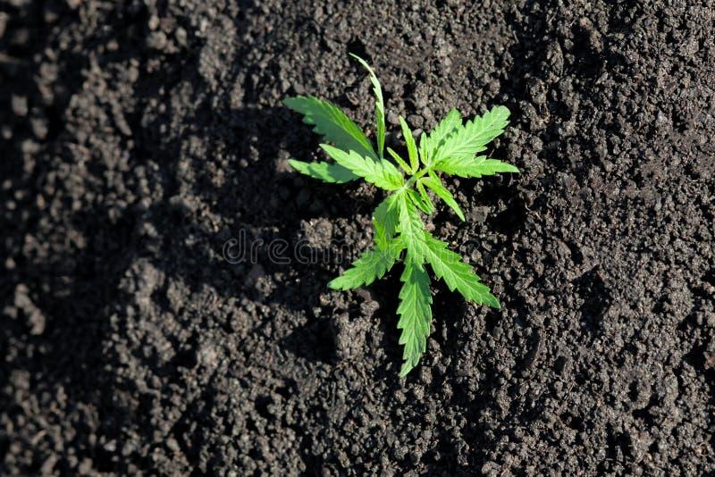 Foto tem?tico para legalizar um c?nhamo da planta Baixo cultivar t?cnico de THC sem o valor da droga Pl?ntula do cannabis, cultiv fotos de stock royalty free