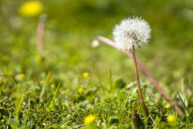 Flor diente de leon. Dandelion flower royalty free stock photos