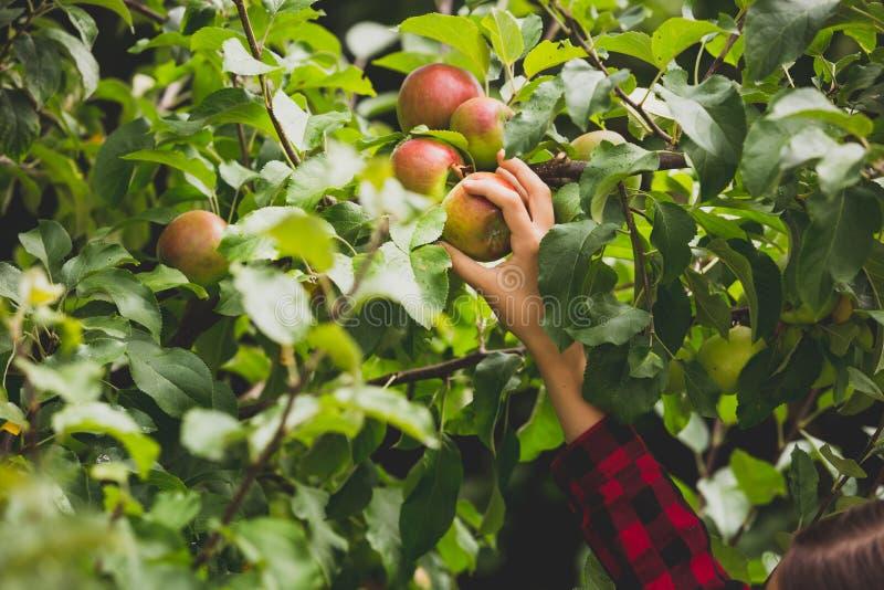 Foto tonificada do close up da mão que alcança para a maçã que cresce sobre a árvore no pomar imagens de stock royalty free