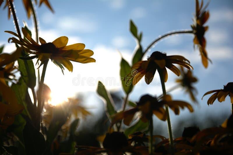 Foto vaga per i precedenti con un gruppo di fiori gialli di Rudbeckia attraverso cui la luce solare uguagliante penetra immagini stock