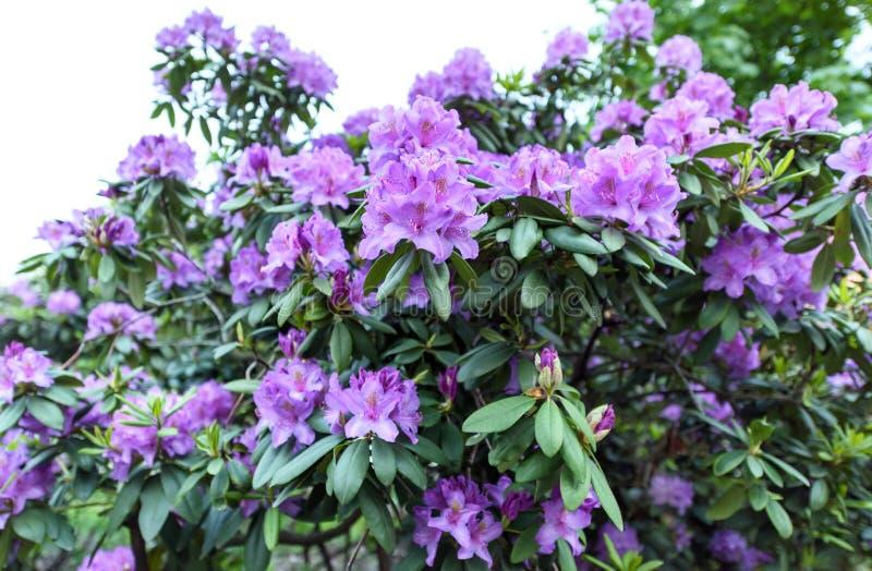 Foto van altijdgroene struik van azalea indica gelukkige dagen stock fotografie