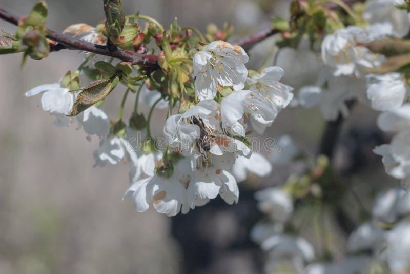 Foto van bloeiende kersenboom stock afbeelding