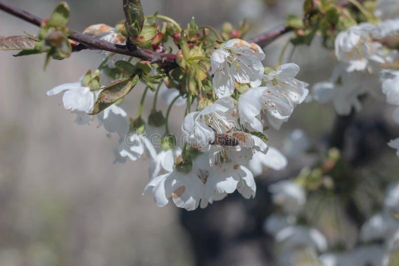 Foto van bloeiende kersenboom royalty-vrije stock afbeelding
