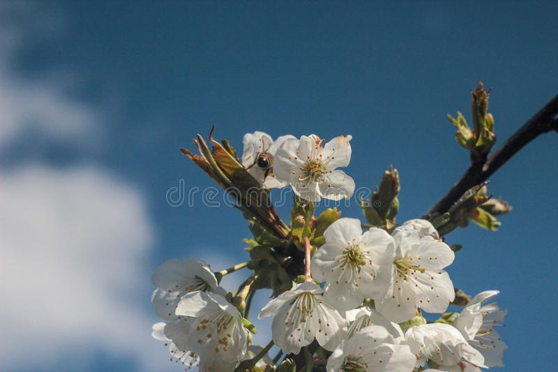 Foto van bloeiende kersenboom stock fotografie