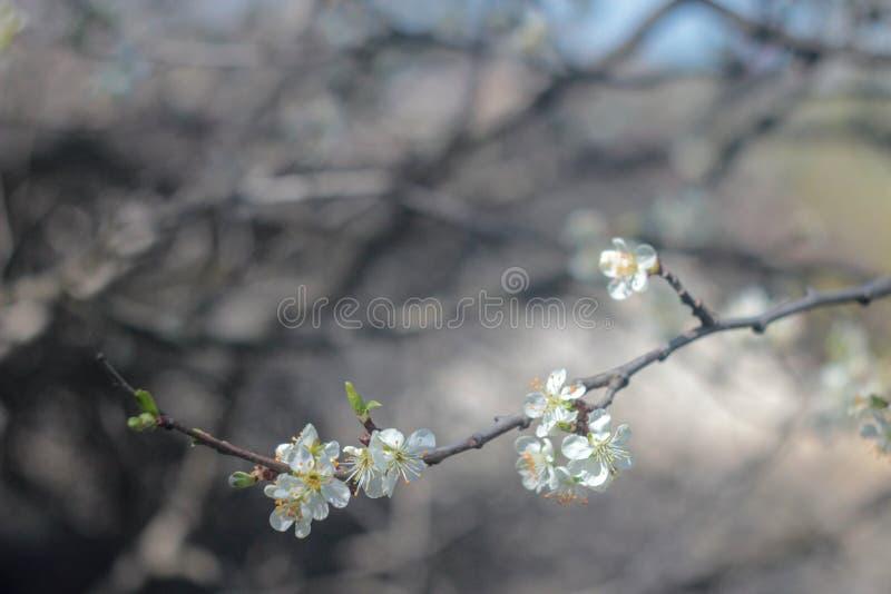 Foto van bloeiende kersenboom royalty-vrije stock foto