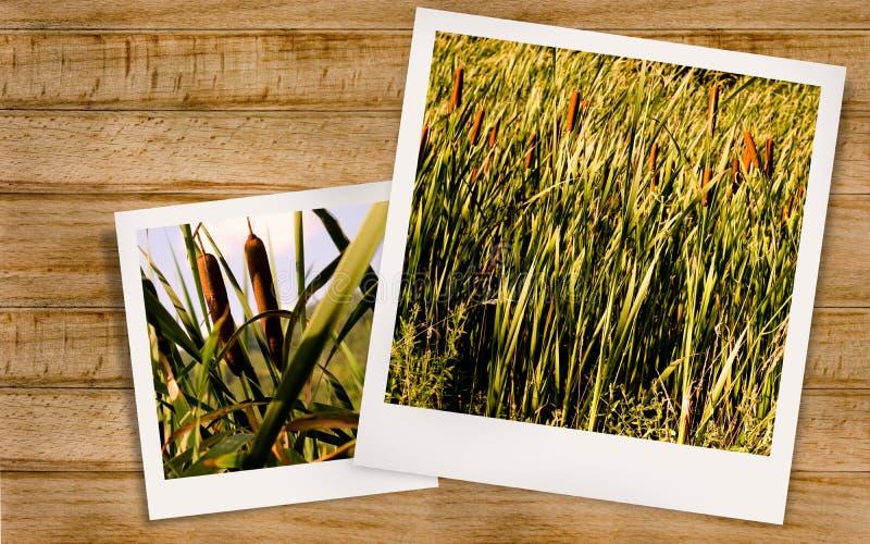 Foto van cattail stock afbeeldingen