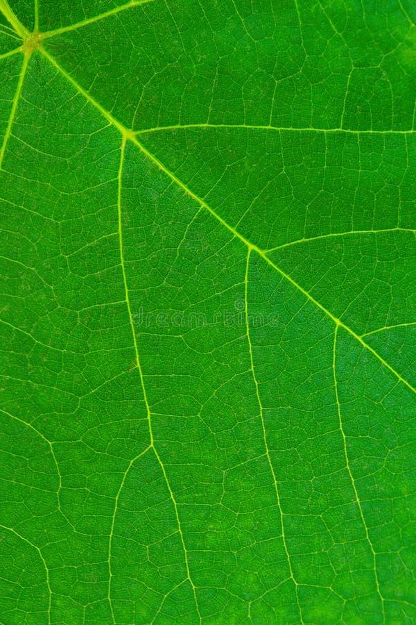 Foto van de dichte omhoog groene textuur van het wijnstokblad stock afbeelding