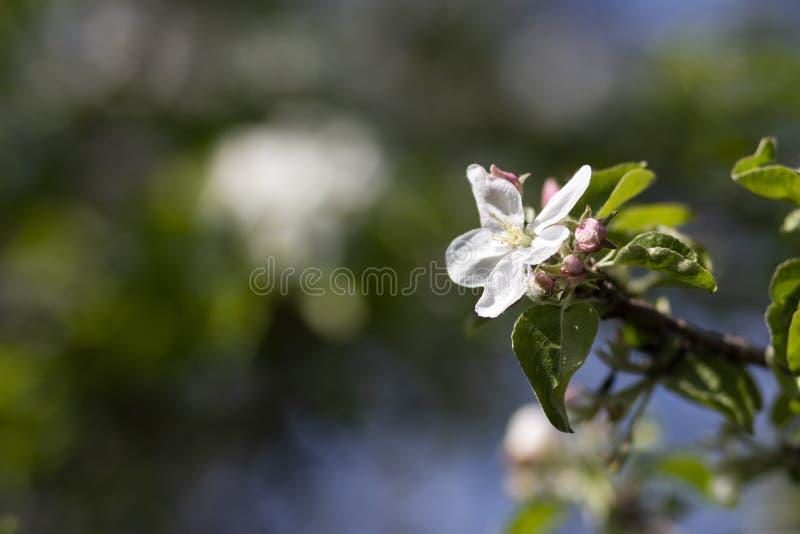 Foto van een bloeiende appelboom royalty-vrije stock foto's