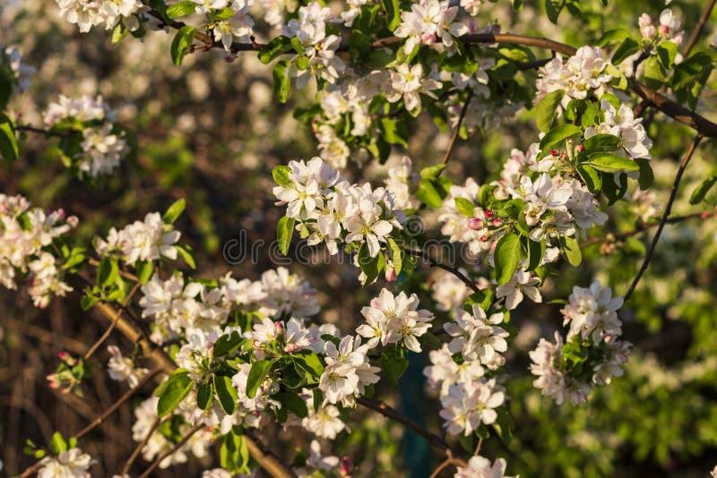 Foto van een bloeiende appelboom stock afbeelding