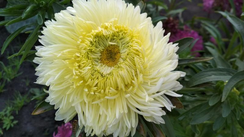 Foto van een bloem van de badstofaster royalty-vrije stock foto