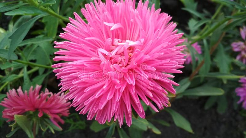 Foto van een bloem van de badstofaster stock fotografie