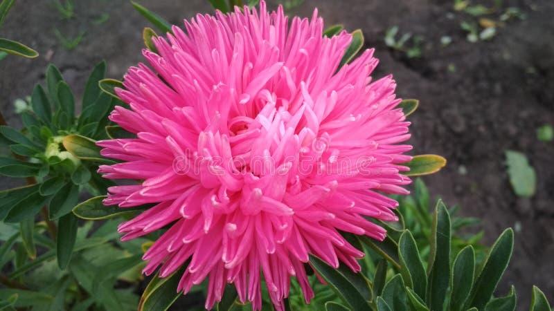 Foto van een bloem van de badstofaster royalty-vrije stock fotografie