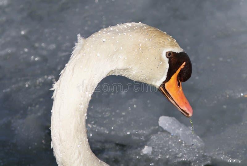 Foto van een stod zwaan drinkwater van ijzig meer stock afbeeldingen