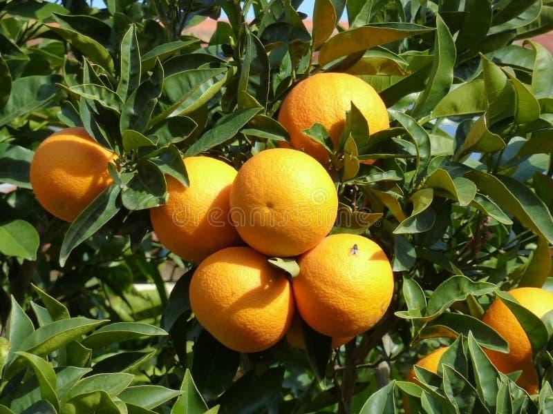 Foto van een tak van oranje boom met rijpe vruchten sinaasappelen royalty-vrije stock foto's