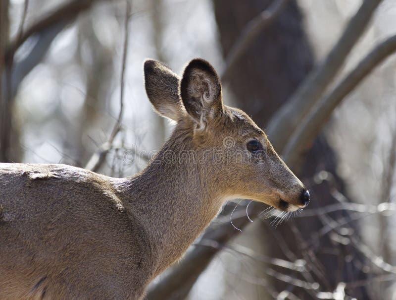 Foto van een wild hert in het bos royalty-vrije stock afbeelding