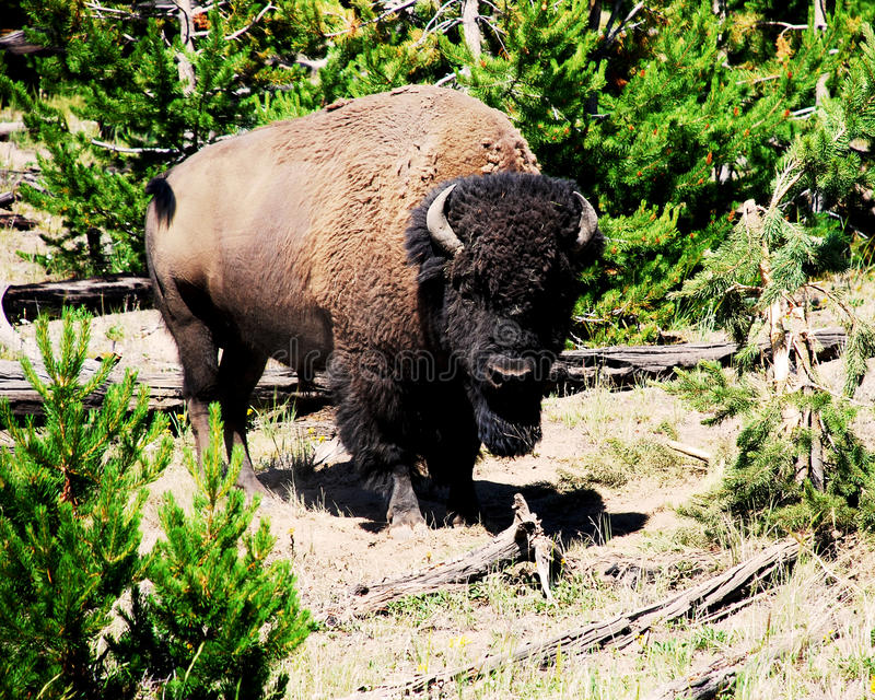 Foto van een Wilde Buffel in het Groene Bos royalty-vrije stock afbeeldingen