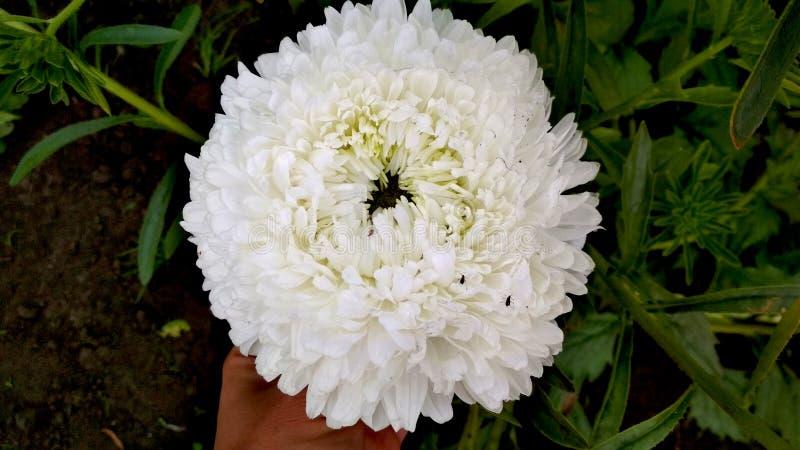 Foto van een witte bloem van de badstofaster stock foto's