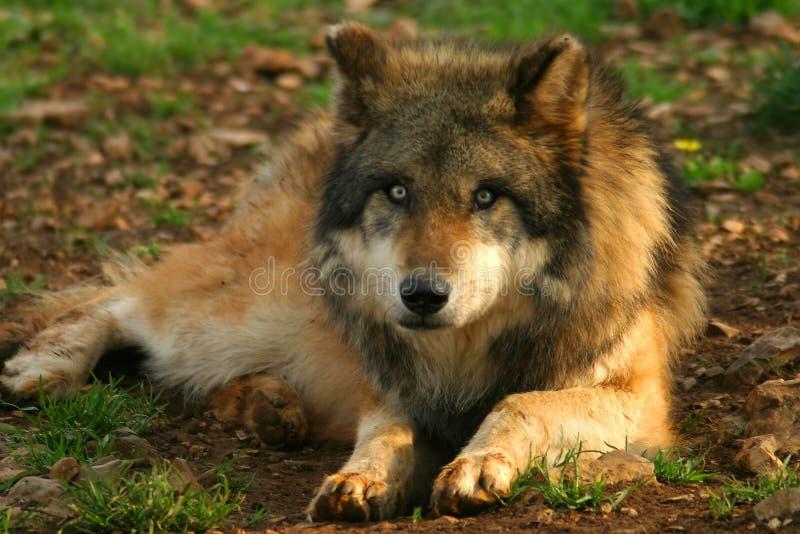 Foto Van Een Wolf (canis-wolfszweer) Stock Foto's