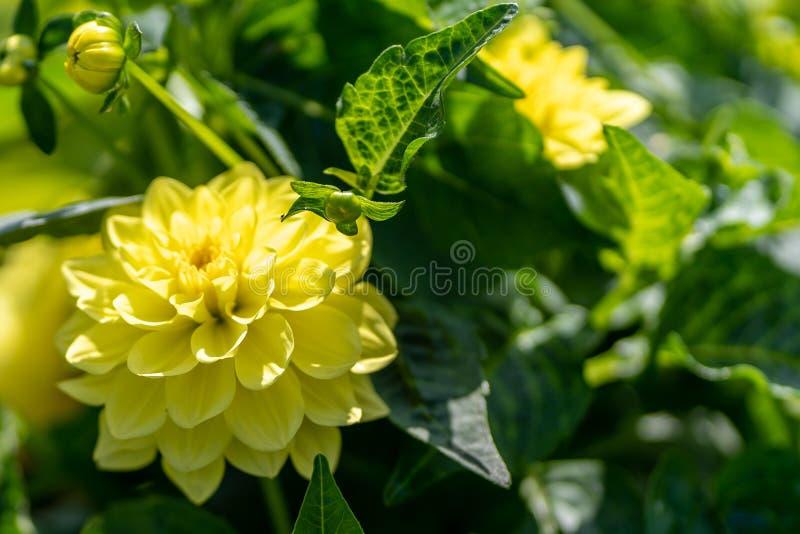 Foto van gele dahlia in dichte omhooggaand stock afbeelding