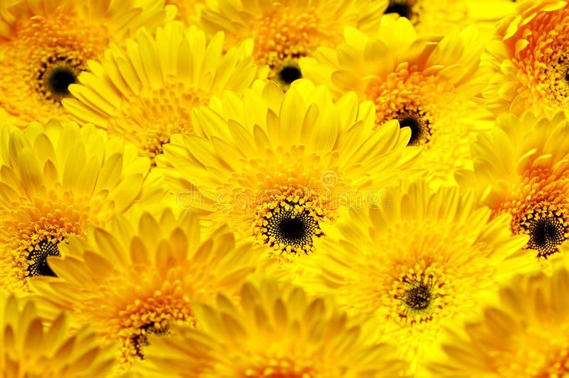 Foto van gele en oranje gerberas, macrofotografie en bloemenachtergrond stock foto