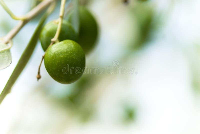 Foto van groene olijfboom en exemplaarruimte royalty-vrije stock foto's