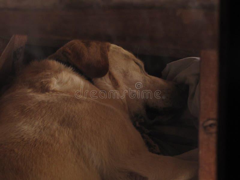 Foto van mijn hondslaap stock afbeelding