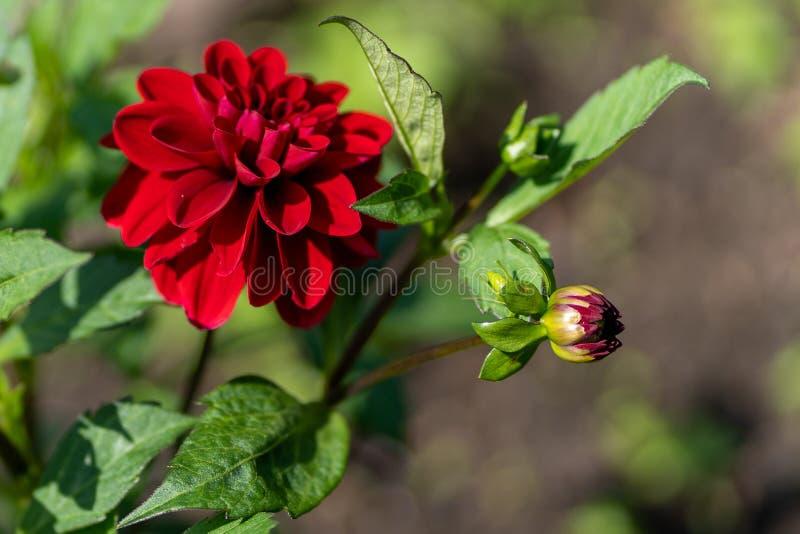 Foto van rode dahlia in dichte omhooggaand royalty-vrije stock afbeelding