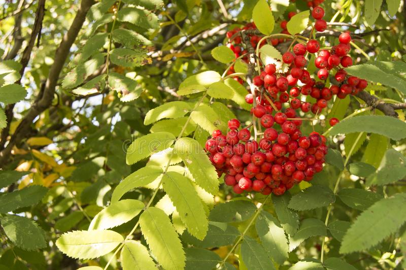 Foto van rood fruit en bladeren van bergachtige as Najaarsnatuur stock afbeelding