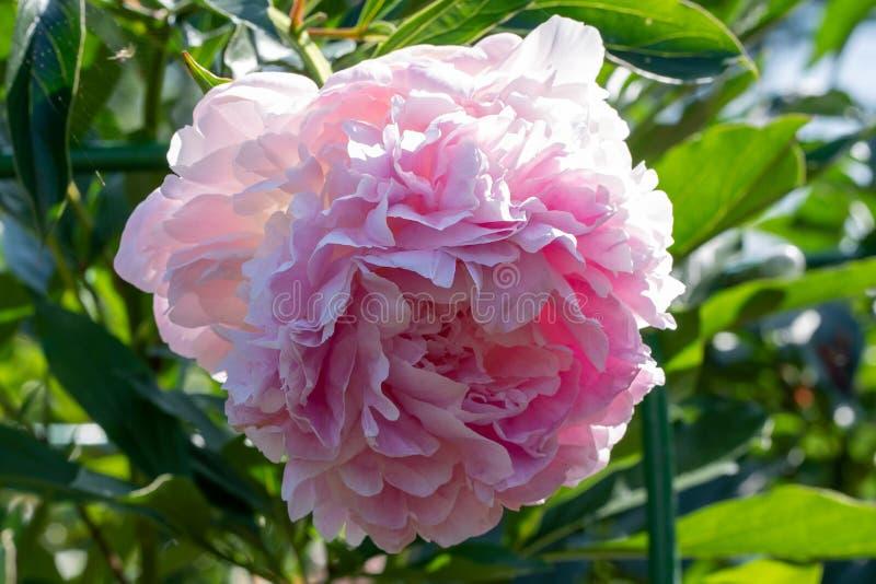 Foto van roze pioen in dichte omhooggaande en zachte nadruk stock afbeeldingen