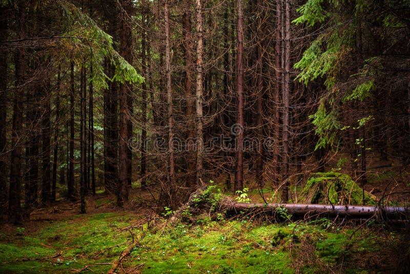 Foto van sparren bos en groen mos Karpatische mountai stock afbeelding