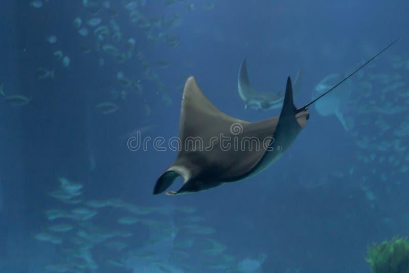 Foto van straal het zwemmen royalty-vrije stock fotografie