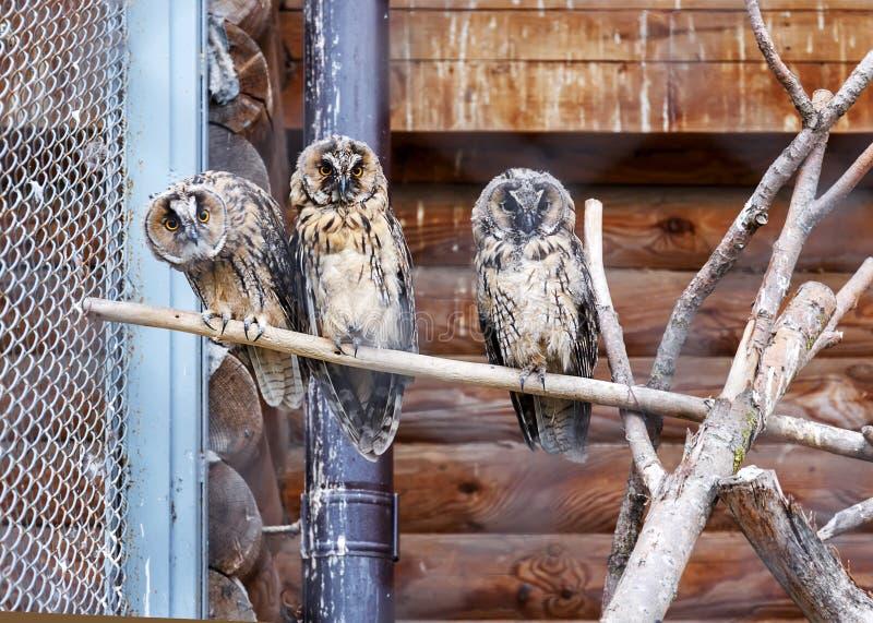 Foto van twee uilen in een dierentuinkooi Uilgezicht met minachtingsuitdrukking Uitdagendheidsconcept Uitdagend gezicht Minachten royalty-vrije stock fotografie