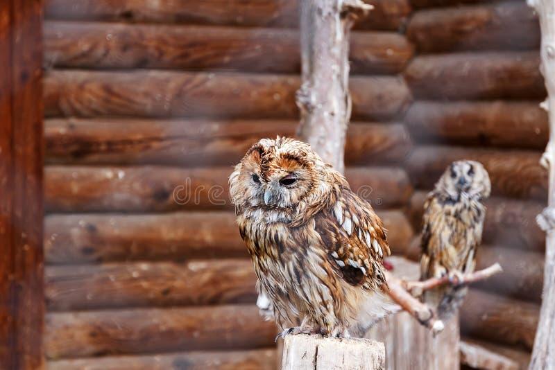 Foto van twee uilen in een dierentuinkooi Uilgezicht met minachtingsuitdrukking Uitdagendheidsconcept Uitdagend gezicht Minachten stock foto's