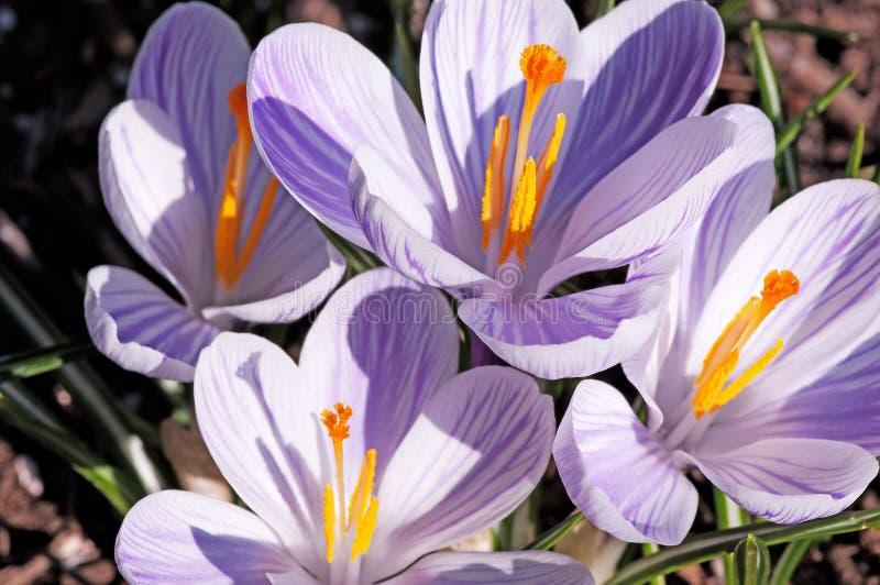 Foto van vier kleine hybride krokusbloemen stock afbeelding