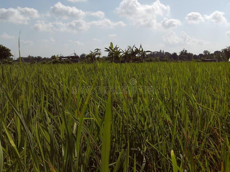 Foto verde del ricefield fotografía de archivo libre de regalías