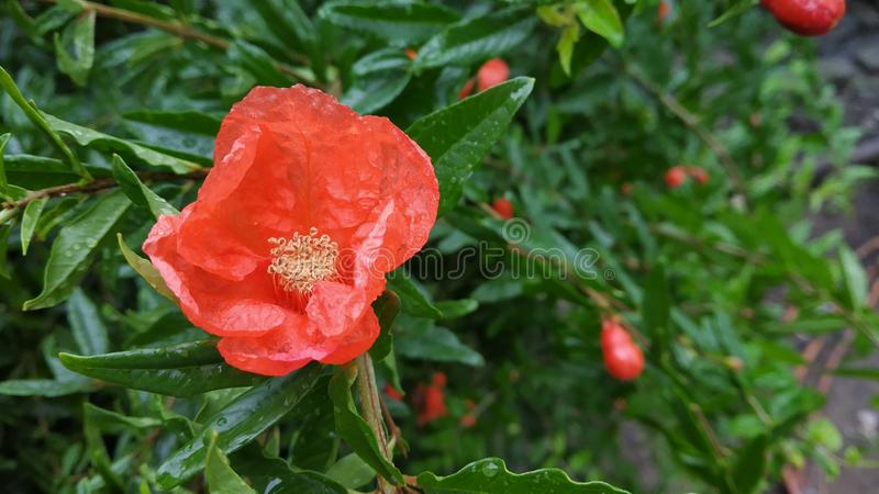 A foto vermelha da flor da romã saiu do lado do alinhado fotos de stock