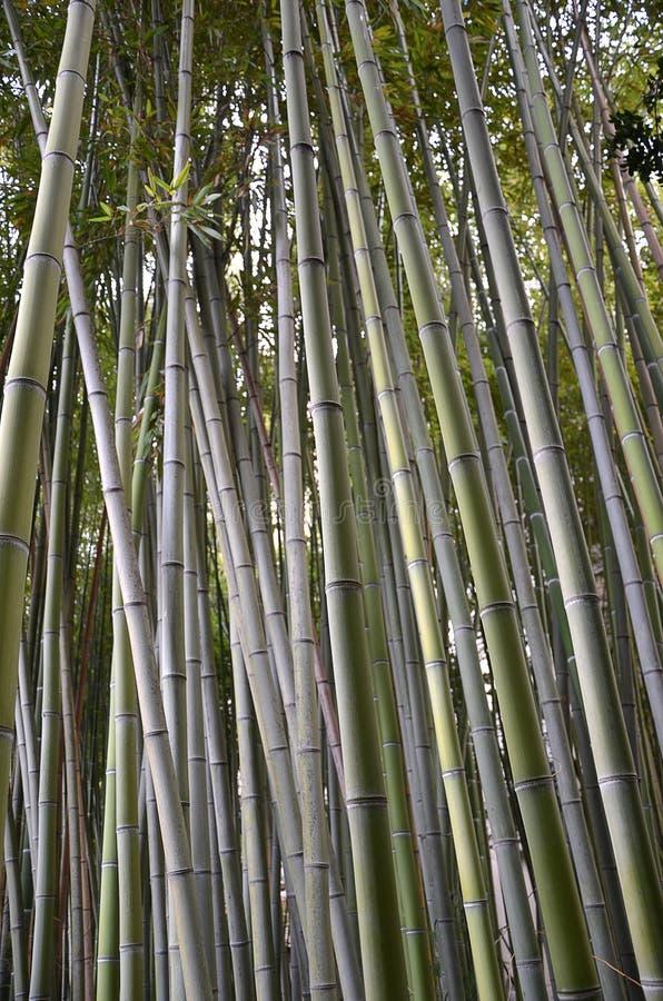 Foto vertical del bosque de bambú en el parque de naturaleza fotografía de archivo