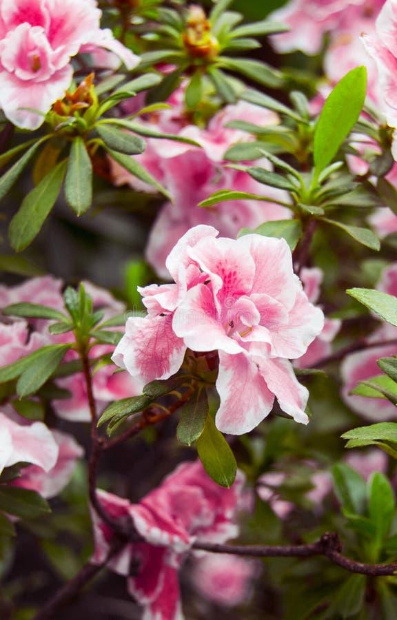 Foto verticali dei fiori di fioritura Fiore rosa dell'azalea con le foglie verdi Azalea Bush Fotografia botanica nella serra B immagine stock
