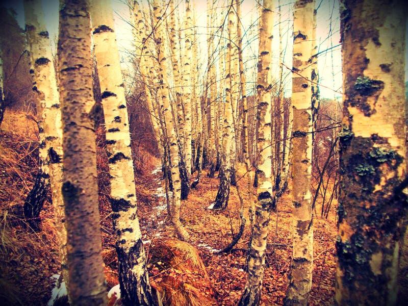 Foto vieler Birken im Wald lizenzfreie stockfotografie