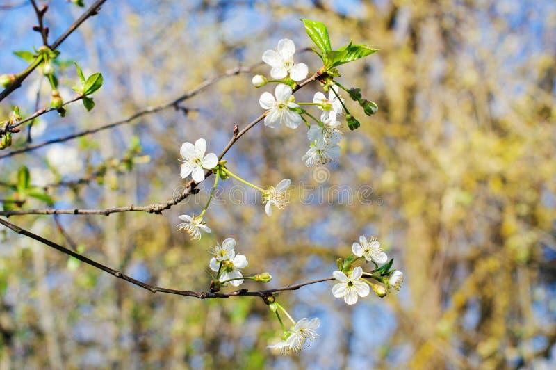 Foto von Kirschbaumblumen lizenzfreie stockfotos