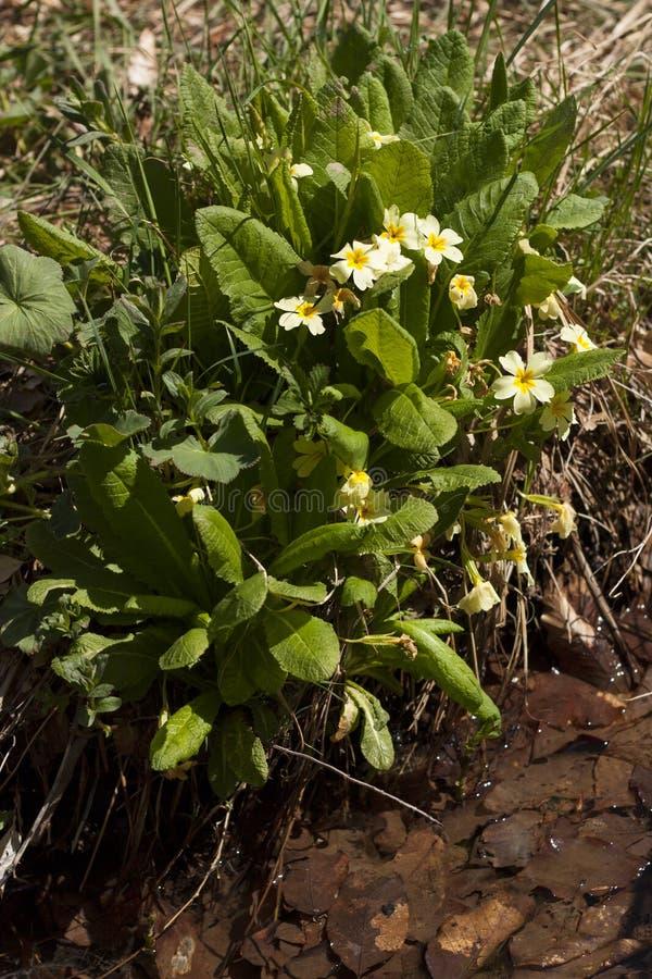 Foto vulgaris del fiore della primula della primaverina immagine stock libera da diritti