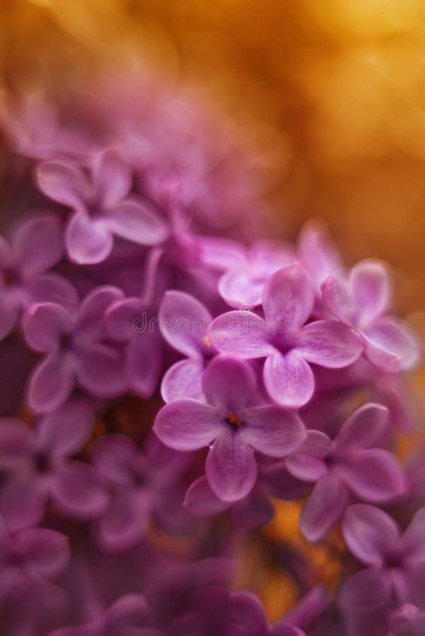 Foto vulgaris del syringa del rosa imagen de archivo libre de regalías