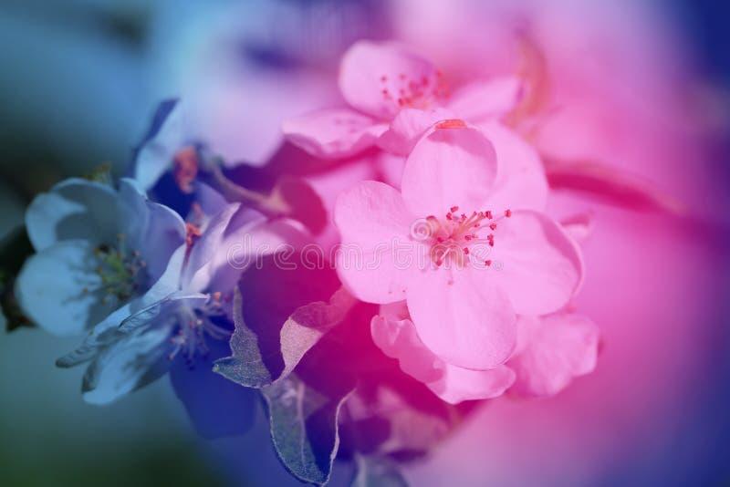 Fotoachtergrond van de mooie witte bloemen van een appel royalty-vrije stock foto's