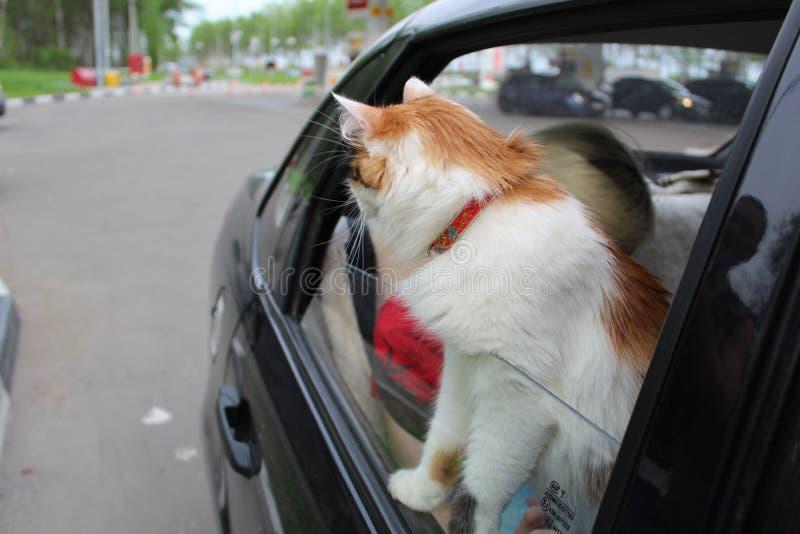 Fotoet av katten i bilen ser ut f?nstret p? v?gen royaltyfri fotografi