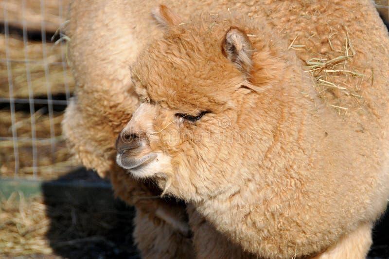 fotoet för llamaen för utseendet för alpaca liknar det amerikansk camelid tämjde att beta hörda liten södra art Det liknar en lit arkivbild