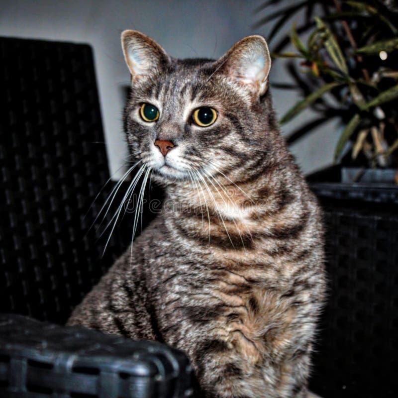 fotoet, som beskriver den inhemska katten, djuret har tilldragits av något som observerar försiktigt royaltyfri bild