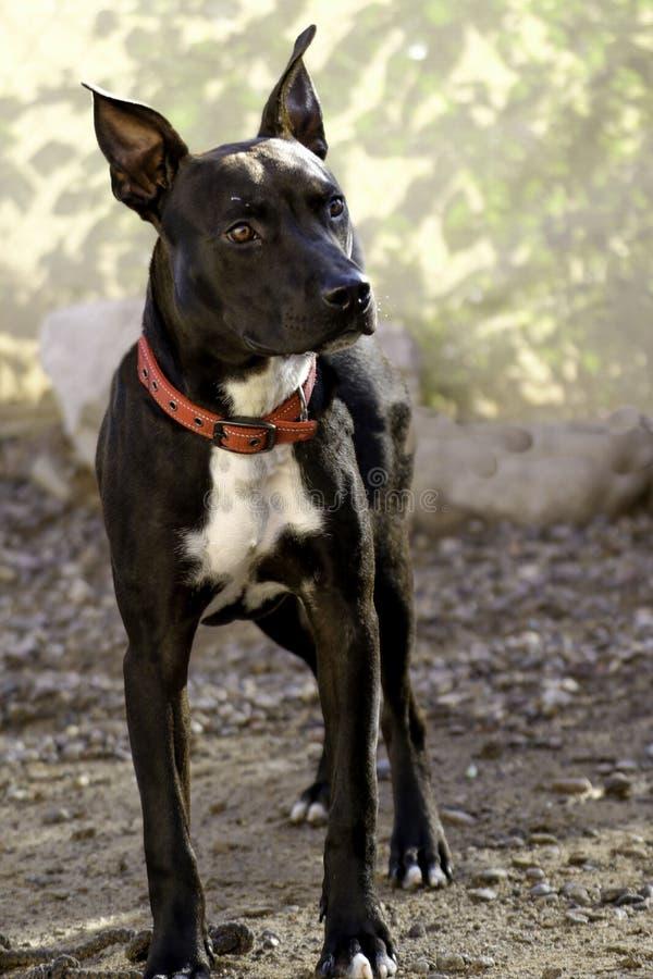 Fotogenieke Anubis-mengelingshond die op goedkeuring wachten stock foto