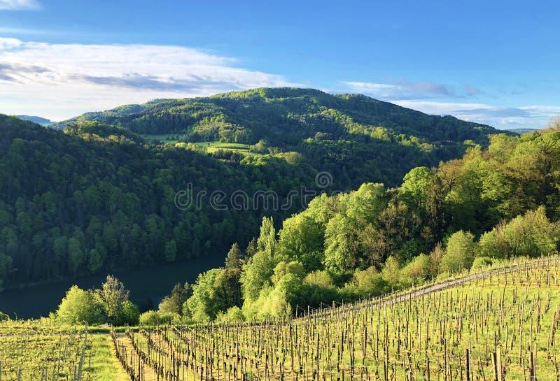 Fotogenieke wijngaarden en laaglandbossen in de Rijn-vallei, Buchberg stock afbeeldingen