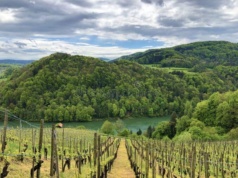 Fotogeniska vingårdar och låglandskogar i Rhendalen, Buchberg royaltyfri fotografi