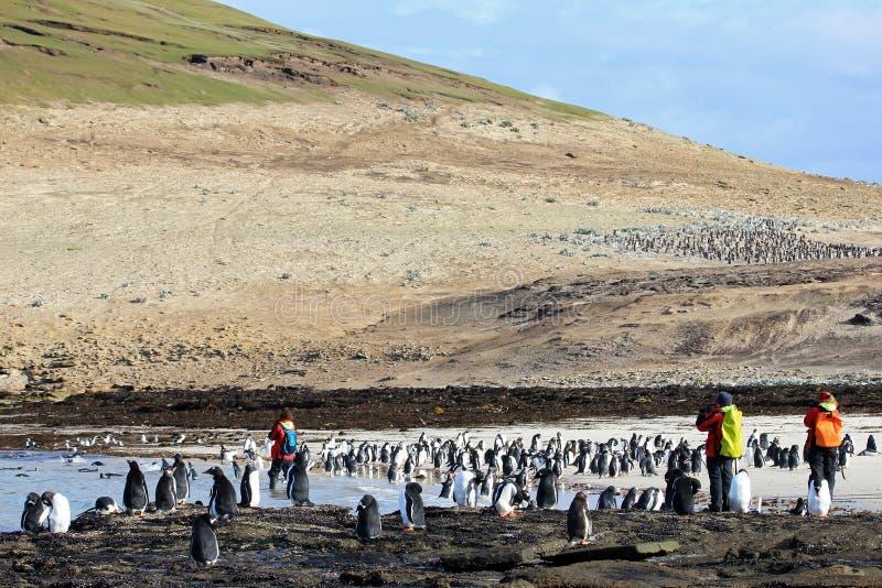 Fotograaf die beelden van Gentoo-pinguïnen, Saunders, Falkland Islands nemen stock foto's